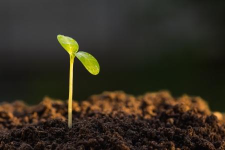Groene spruit groeien van grond, nieuwe of begin of begin begrip Stockfoto