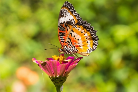 Male leopard lacewing  Cethosia cyane euanthes  butterfly feeding on zinnia flower photo