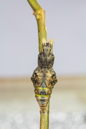 pupae: Mature pupa of great mormon  Papilio memnon agenor  butterfly, just before its emerging