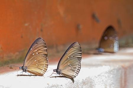 branded: Long branded blue crow  Euploea algea  butterflies Stock Photo