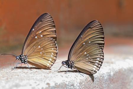 branded: Close up of long branded blue crow  Euploea algea  butterflies
