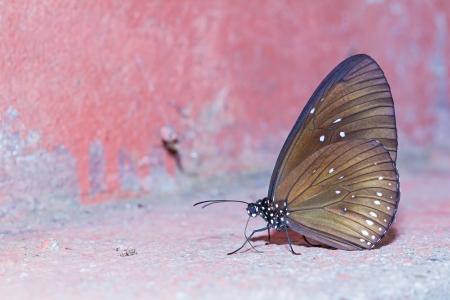 branded: Close up of long branded blue crow  Euploea algea  butterfly