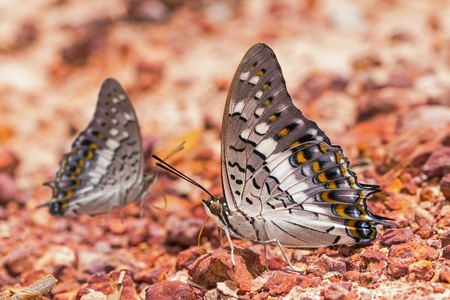 rajah: Black Rajah  Charaxes solon  butterfly puddling on the ground