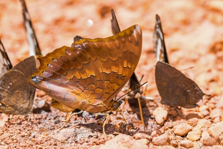 rajah: Close up of Scarce Tawny Rajah  Charaxes aristogiton  butterfly puddling on the ground