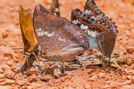 rajah: Cierre de Tawny Rajah charaxes Bernardus mariposa charcos en el suelo