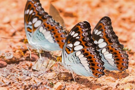 Close up of Commander  Moduza procris milonia  butterfly puddling on the ground photo