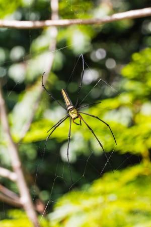 golden orb weaver: Primo piano di golden orb tessitore o gigante in legno ragno banana o ragno Nephila pilipes sul suo web