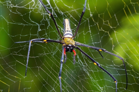 wood spider: Close up of golden orb-weaver or giant wood spider or banana spider  Nephila pilipes  on its web