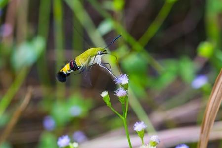 sphingidae: Close up of Pellucid Hawk Moth or Greenish hyaline hawk moth or Bee hawk moth (Cephonodes hylas) feeding on flower