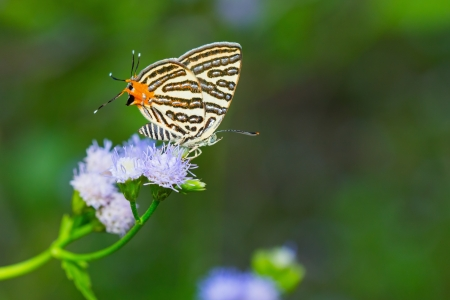 silverline: Close up of club silverline (Spindasis syama terana) butterfly visiting flower Stock Photo