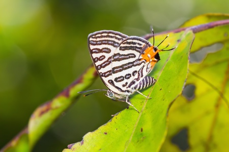 silverline: Close up of club silverline (Spindasis syama terana) butterfly perching on green leaf