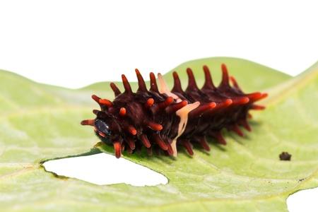 Close up of middle stage of common rose  Pachliopta aristolochiae goniopeltis  caterpillar photo