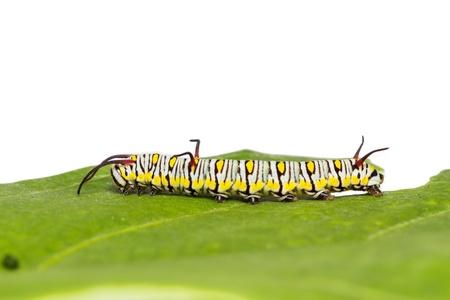 danaus: Close up of mature plain tiger  Danaus chrysippus chrysippus  caterpillar