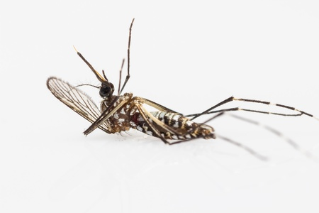Close up of carcass of yellow fever mosquito  Aedes aegypti  on white background
