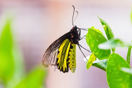 Close up of male golden birdwing  Troides aeacus  butterfly sunbathing on green leaf