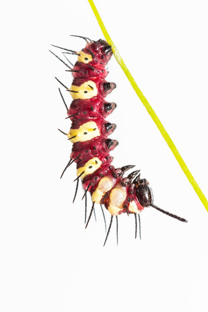 lacewing: Close up of leopard lacewing  Cethosia cyane euanthes  caterpillar hangs itself for pupation, white background Stock Photo