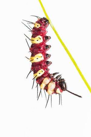 chrysope: Pr�s de l�opard chrysopes Cethosia cyane euanthes chenille se raccroche � la nymphose, fond blanc