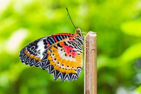 lacewing: Close up of male leopard lacewing  Cethosia cyane euanthes  butterfly in nature
