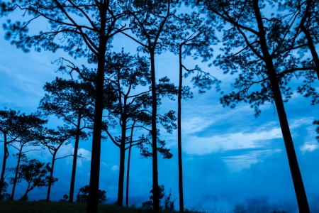Pinus merkusii or Sumatran pine trees in twilight on Phu Kradueng national park, Thailand photo
