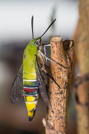 pellucid: Primer plano de la polilla halc�n pel�cida o verdosos hialinos halc�n polilla Cephonodes hylas Linnaeus posada en palo, vista lateral