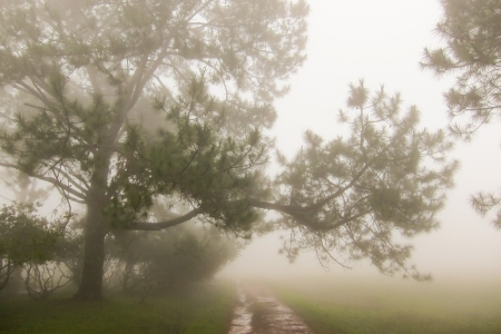 kradueng: Pinus merkusii or Sumatran pine trees in the mist on Phu Kradueng national park, Thailand