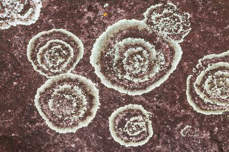 kradueng: Texture of foliose lichens on rock surface in Phu Kradueng national park, Thailand