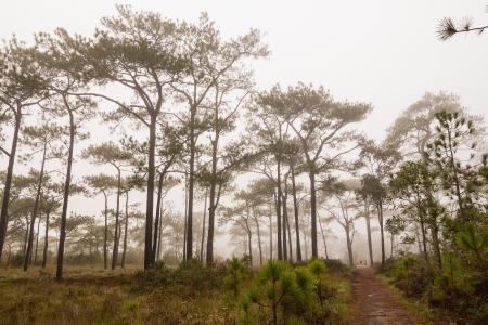 kradueng: Treking in the mist through Pinus merkusii pine trees forest on Phu Kradueng national park, Thailand