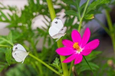 psyche: Primer plano de dos mariposas Psique Leptosia nina visitan flor del cosmos