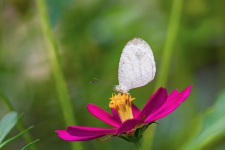 psyche: Close up of Psyche  Leptosia nina  butterfly feeding on cosmos flower