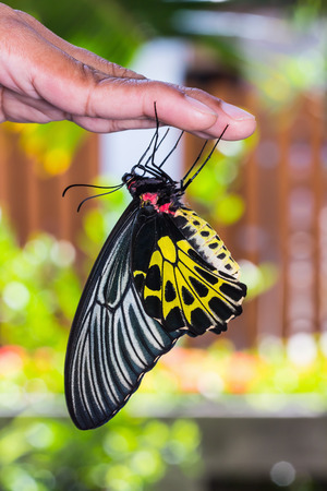 Close up of female golden birdwing  Troides aeacus  butterfly clinging on human hand, nature background Imagens