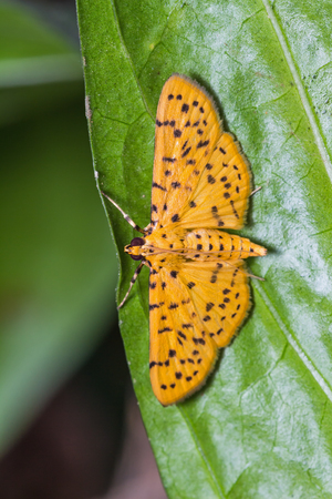 borer: Close up of Durian Fruit Borer moth or Yellow Peach moth on green leaf, dorsal view Stock Photo
