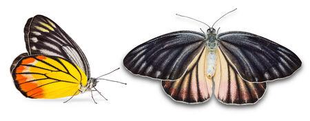 dorsal: Cerca de Painted Jezabel Delias mariposa metarete hyparete femenino, aislado en fondo blanco con trazado de recorte, vista lateral y dorsal