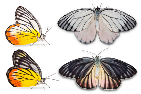 Close up of Painted Jezebel  Delias hyparete metarete  butterfly, male on upper part and female on lower part, isolated on white background with clipping path, side view and dorsal view