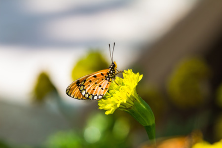 nymphalidae: Close up of tawny coster  Acraea terpsicore or Acraea violae  butterfly perching on marigold flower