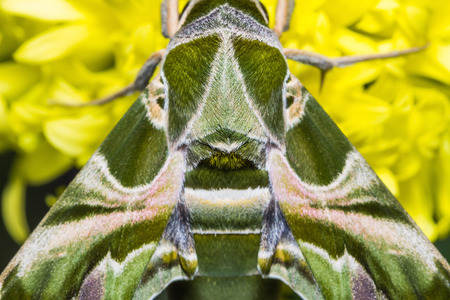 sphingidae: Close up of Oleander Hawk-moth or army green moth  Daphnis nerii  on marigold flower, dorsal view Stock Photo
