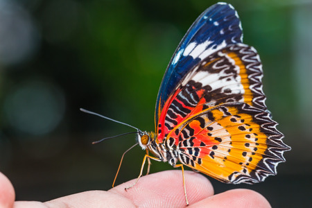 Close up of male leopard lacewing  Cethosia cyane euanthes  butterfly perching on human finger photo