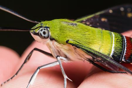 pellucid: Primer plano de la polilla halc�n pel�cida o verdoso hialina Polilla de halc�n Cephonodes hylas Linnaeus