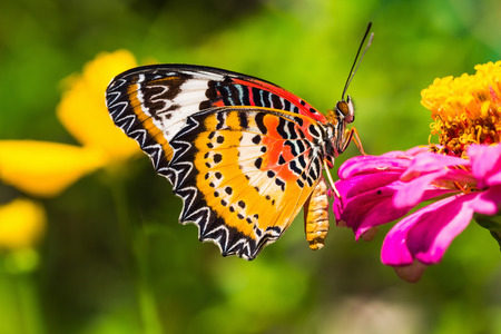 Close up of male leopard lacewing  Cethosia cyane euanthes  butterfly perching on zinnia flower