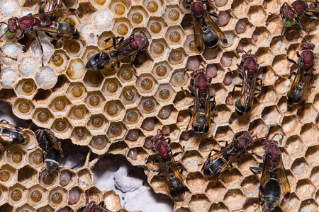 apocrita: Close up of brown paper wasp workers taking care of their brood combs which accommodate young larvae and eggs