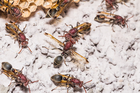 apocrita: Close up of brown paper wasp workers, some of them are ready to protect their nest Stock Photo