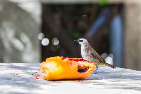 approaches: The Yellow-vented Bulbul  Pycnonotus goiavier  bird approaches to the fruit  ripe papaya