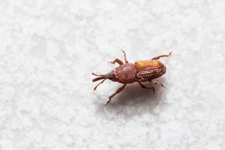 Close-up van volwassen rijst snuitkevers Sitophilus oryzae op de vloer