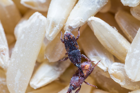 Close up of adult rice weevils  Sitophilus oryzae  on the rice grain 免版税图像