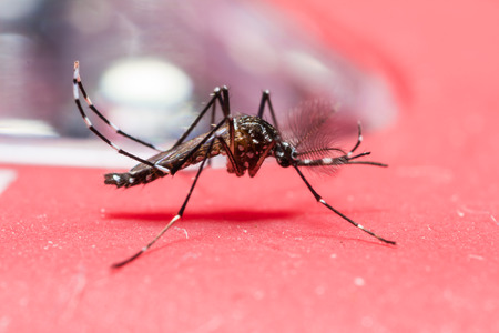 aedes: Close up of alive yellow fever mosquito  Aedes aegypti  perching on red object