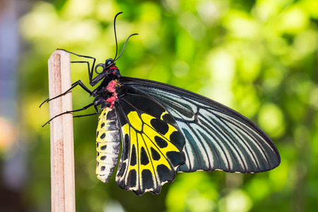Close up of female golden birdwing  Troides aeacus  butterfly resting on stick