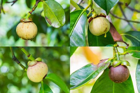 mangostano: Raccolta di mangostano freschi e maturi sul suo albero