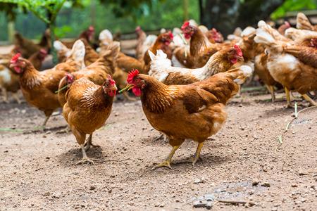 케이지 무료, 무료 범위, 항생제와 호르몬 무료 농업에서 행복 암탉 스톡 콘텐츠