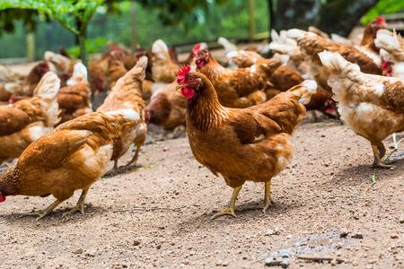 gallina con huevos: Gama libre, la agricultura y conexi�n hormonal gallinas felices en la jaula libre, antibi�ticos Foto de archivo
