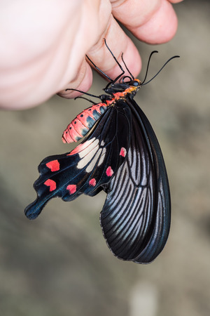 Close up of common rose  Pachliopta aristolochiae goniopeltis  butterfly clinging on human hand photo