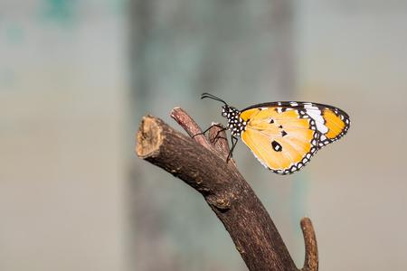 danaus: Close up of Plain Tiger  Danaus chrysippus chrysippus  butterfly perching on wood stem Stock Photo